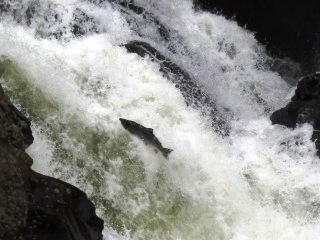 blog-AUg-4-2014-3-atlantic-salmon-jumping