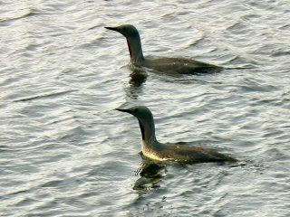 blog-Aug-8-2014-10-arctic-loons-in-iceland