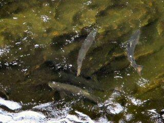 blog-Aug-8-2014-4-atlantic-salmon-with-icelandic-fly-fishermen
