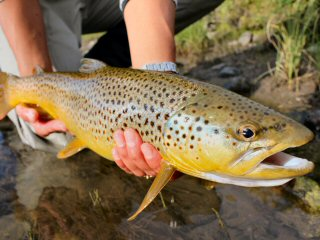 blog-Sept-10-2014-7-brown-trout