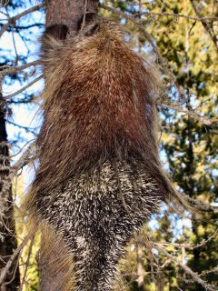 blog-Sept-17-2014-8-porcupine