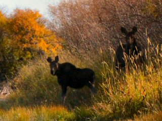 blog-Sept-25-2014-7-moose