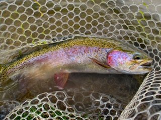 blog-Sept-6-2014-6-rainbow-trout