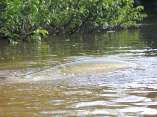 blog-Nov-1-2014-11-arapaima-breathing