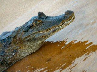 blog-Nov-4-2014-3-black-caiman