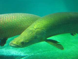 blog-Nov-4-2014-8-arapaima
