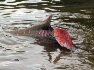 blog-Nov-6-2014-3-arapaima-rolling