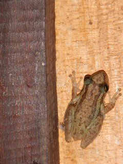 blog-Nov-8-2014-10-frogs-in-guyana