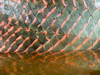 blog-Nov-8-2014-13-arapaima-scales