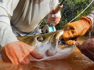 blog-Nov-8-2014-15-flyfishing-for-arapaima