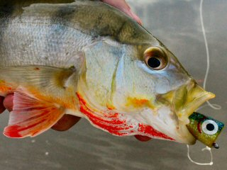 blog-Nov-8-2014-7-peacock-bass