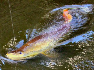 blog-Nov-8-2014-9-fishing-for-arapaima