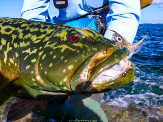 blog-Dec-11-2014-11-marbled-grouper