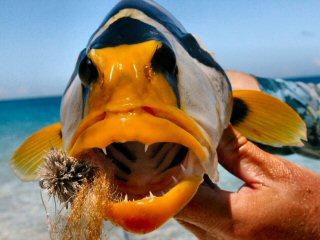 blog-Dec-11-2014-8-saddleback-grouper