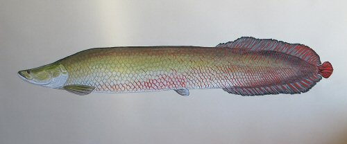 blog-Dec-29-2014-8-jeffcurrier-arapaima-artwork