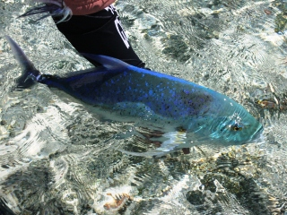 blog-Dec-3-2014-9-flyfishing-for-bluefin-trevally
