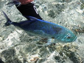 blog-Dec-3-2014-9-flyfishing-for-bluefin-trevally