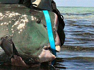 blog-Dec-5-2014-11b-bumphead-parrotfish