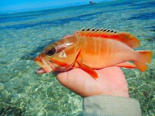 blog-Dec-5-2014-3-redbarred-grouper-seychelles