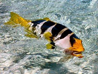 blog-Dec-7-2014-4-saddleback-grouper