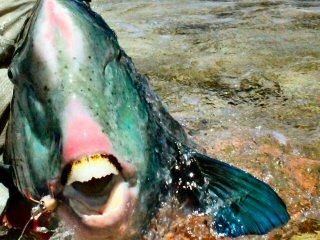 blog-Dec-8-2014-14-hump-head-parrotfish