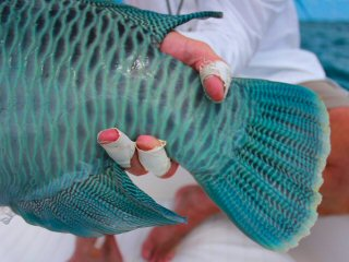 blog-Dec-9-2014-11-napoleon-wrasse