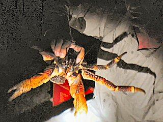 blog-Dec-9-2014-21-coconut-crab