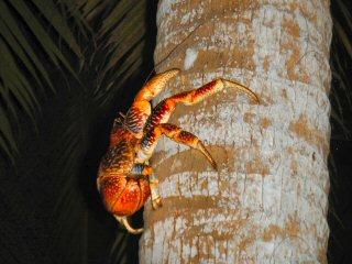 blog-Dec-9-2014-22-coconut-crab