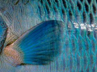 blog-Dec-9-2014-3-flyfishing-for-napoleon-wrasse