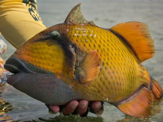 blog-April-13-2015-6-mustache-triggerfish