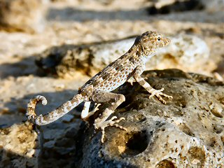 blog-April-17-2015-2-lizard-in-oman