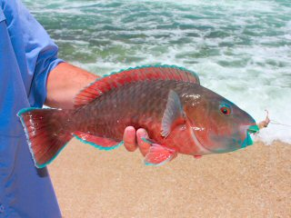blog-April-20-2015-7-persian-parrotfish