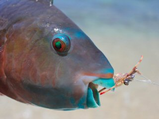 blog-April-20-2015-8-flyfishing-for-parrotfish