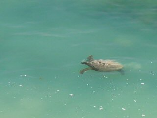 blog-April-21-2015-4-sea-turtles-in-oman