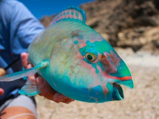 blog-May-3-2015-12-parrotfish