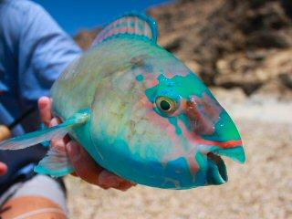blog-May-3-2015-12-parrotfish