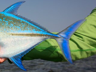 blog-May-3-2015-6-bluefin-trevally