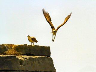 blog-May-3-2015-7-osprey-in-oman