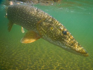 blog-July-1-2015-7-underwater-pike