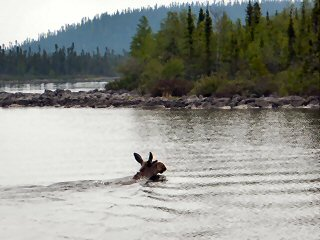 blog-June-28-2015-3-saskatchewan-moose