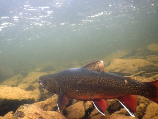 blog-Aug-3-2015-13-labrador-brook-trout