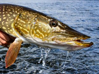 blog-Aug-6-2015-2-pike-on-the-fly