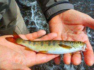 blog-Aug-7-2015-11-salmon-parr