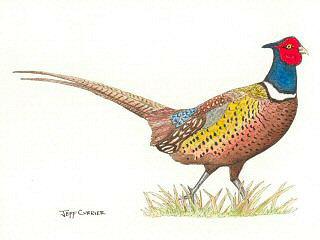 blog-Oct-2-2015-pheasant-artwork-by-jeff-currier