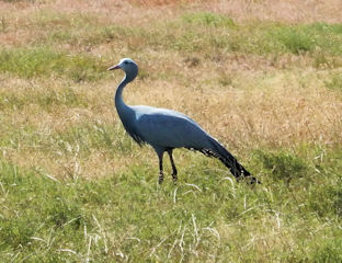 blog-Nov-15-2015-3-blue-crane-sa