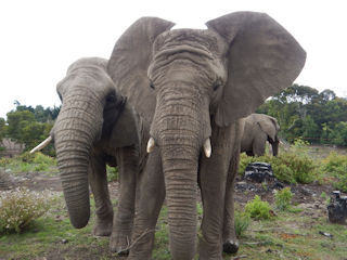 blog-Dec-1-2015-2-knysna-elephants