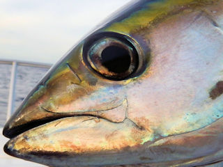 blog-Dec-16-2015-1-flyfishing-tuna