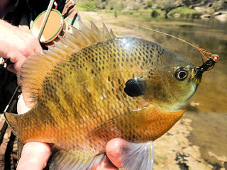 blog-Nov-16-2015-6-bluegill-fishing-africa