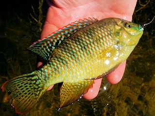 blog-Nov-17-2015-3-banded-tilapia