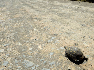 blog-Nov-17-2015-5-tortoise-crossing-sa